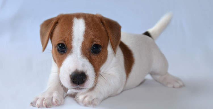 Как правильно выбрать щенка джек рассела терьера