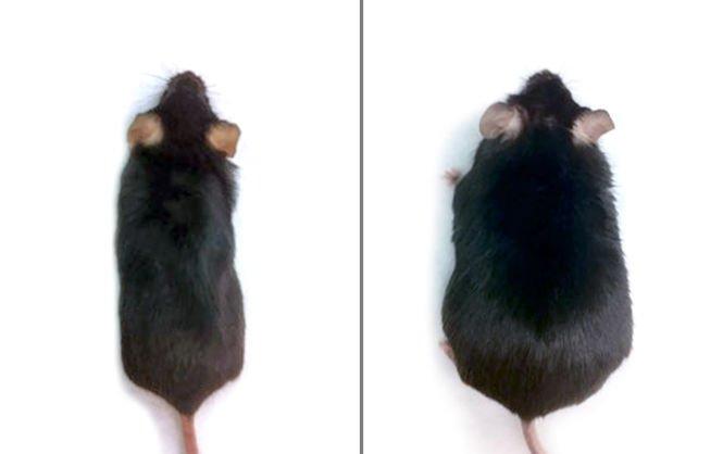 Ученые нашли способ есть жирную пищу и не поправляться
