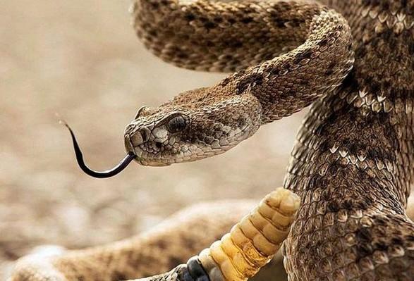 В Украине осталось более тысячи доз антитоксина против змеиного яда